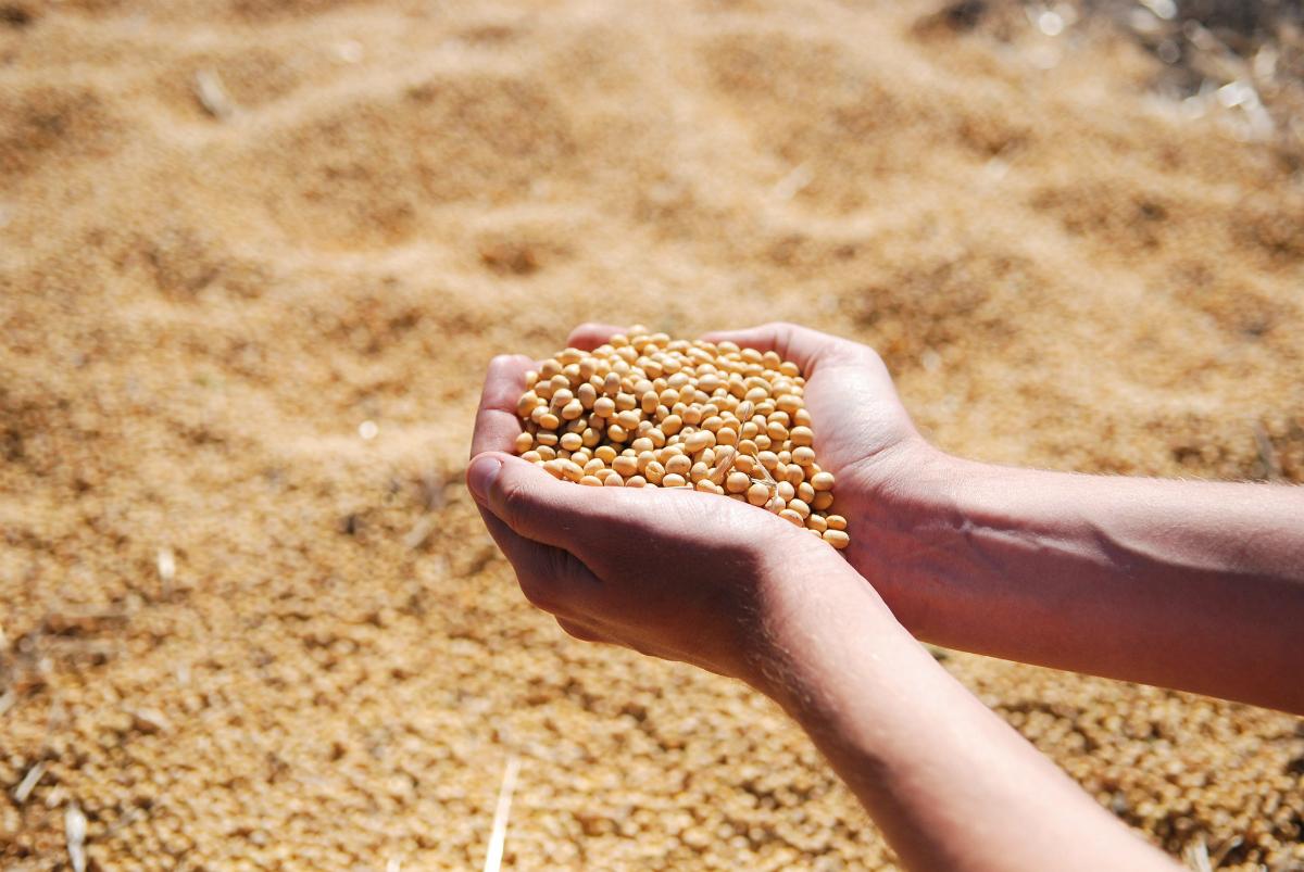 soja el grano lecitina de soja