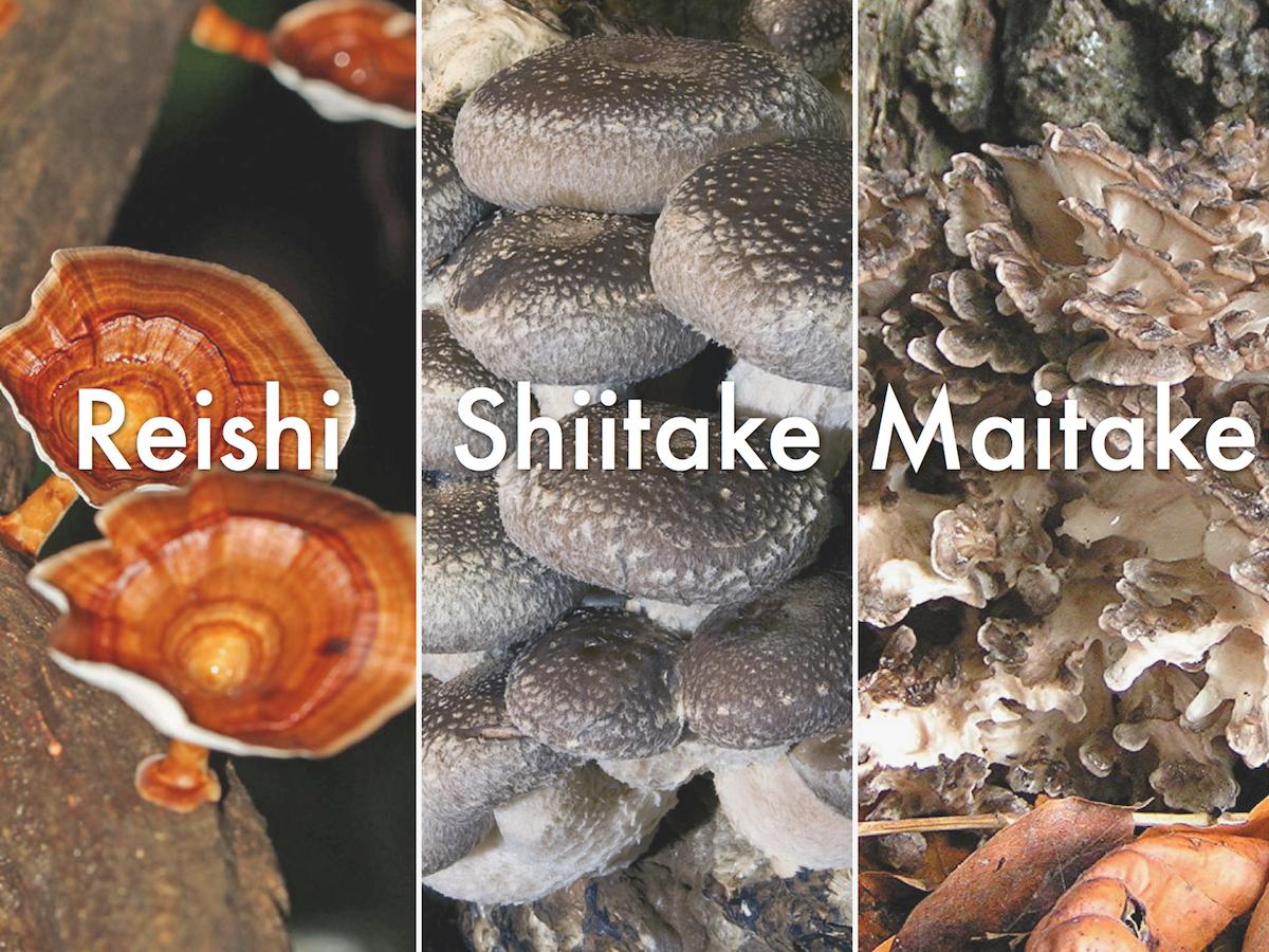 Reishi, Shiitake y Maitake, tres hongos con múltiples beneficios
