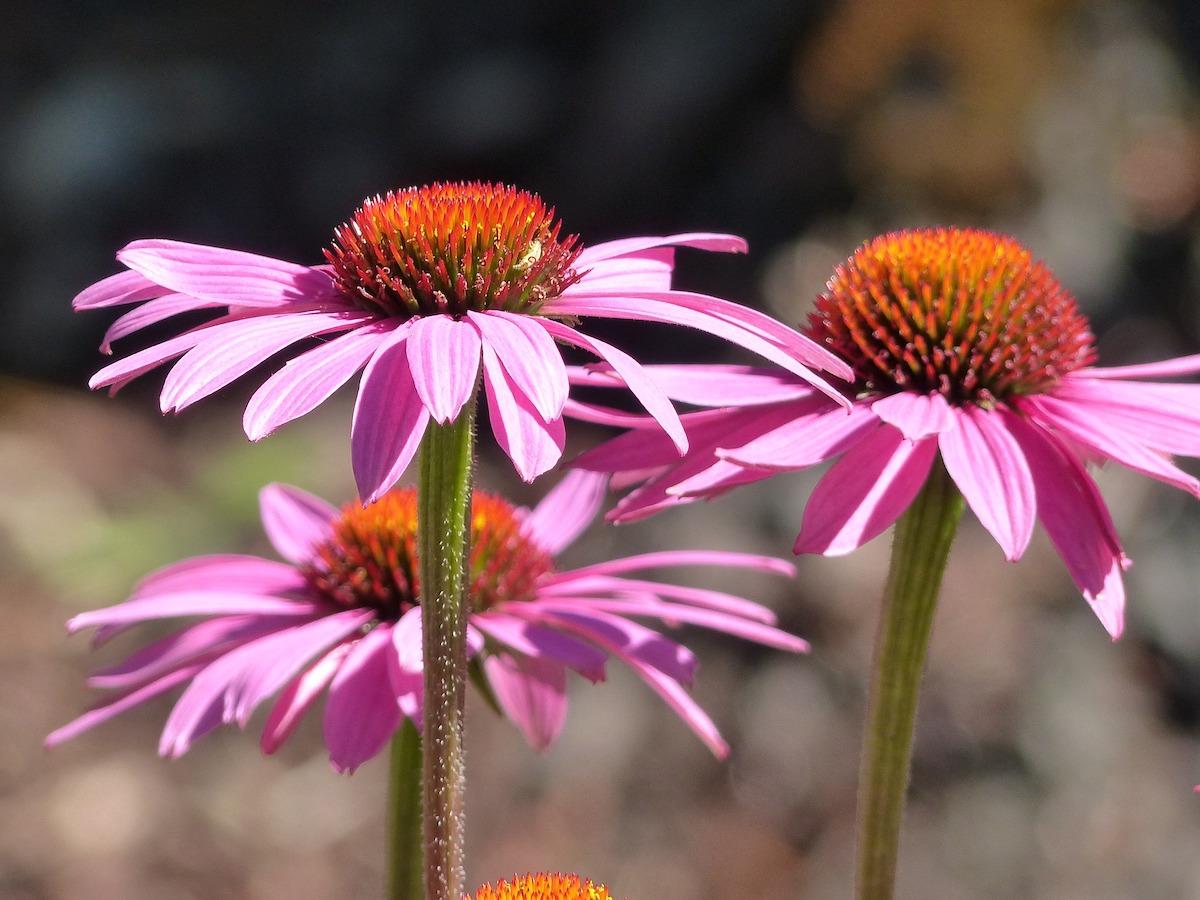 plantas medicinales equinacea