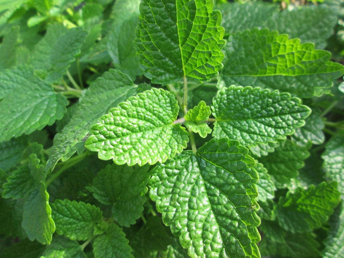plantas medicinales melisa