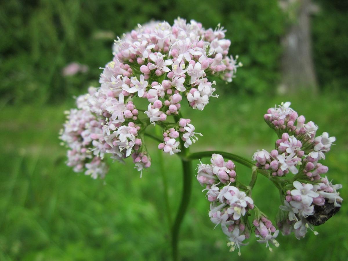 plantas medicinales valeriana