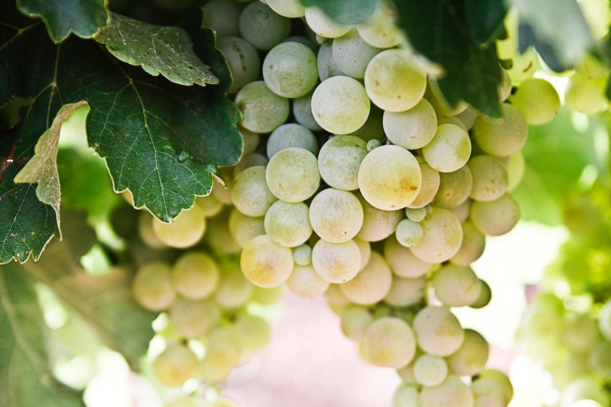 Beneficios de las uvas, cómo ayudan al organismo