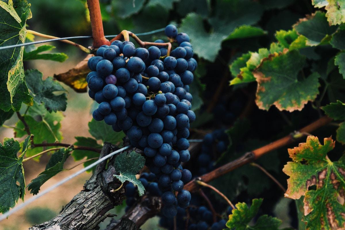 uva frutas de otoño